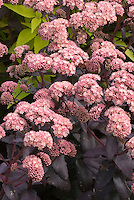 Sedum Jose Auberginein flower with dark purple foliage leaves