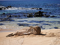 Monk Seal in sand