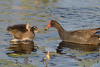 559500008 common gallinules gallinula galeata or common moorhens gallinula chloropus wild texas.Adult Feeding Chick.Anahuac National Wildlife Refuge, Texas