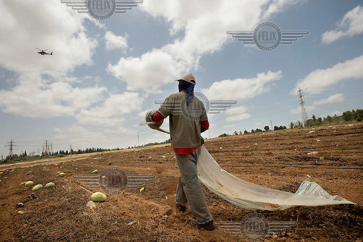A man works on a watermelon field as an Israeli Air Force helicopter flies overhead.
