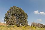 Israel, Coastal Plain. Eucalyptus tree in Wadi Hatzav