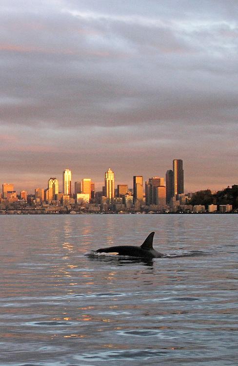 Seattle, Orca whales, Orcinus orca, sunset, skyline, Elliott Bay, Puget Sound, Washington State, Pacific Northwest, USA,.