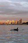 Seattle, Orca whales, Orcinus orca, sunset, skyline, Elliott Bay, Puget Sound, Washington State, Pacific Northwest, USA,.