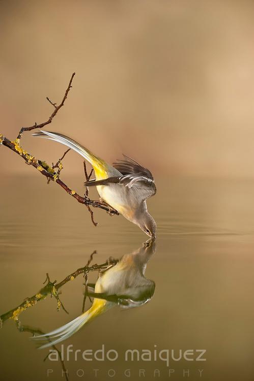Yellow wagtail (Motacilla flava)pond reflex, Alicante, Spain,Europe