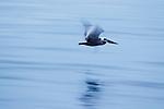 Brown Pelican (Pelecanus occidentalis) flying over water, Santa Cruz, Monterey Bay, California