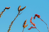 Female House Finch, Haemorhous mexicanus, perches in an Ocotillo, Fouquieria splendens, in Saguaro National Park, Arizona