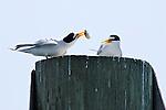 Least Terns Don't Cuddle