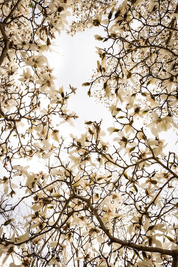Magnolia salicifolia, also known as Willow-leafed magnolia or Anise Magnolia at the University of Minnesota Landscape Arboretum.