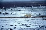 Polar bear (Ursus maritimus) - Hudson bay