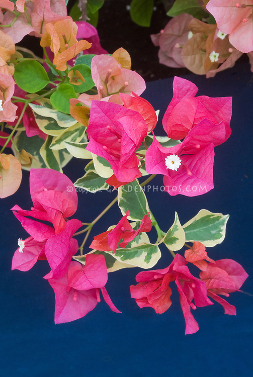 Bougainvillea 'Raspberry Ice' variegated foliage with red flowers
