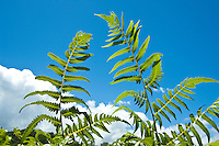 Ferns against a blue sky, Maui.