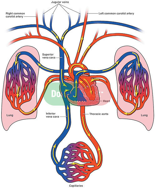 Heart diagram lungs diy wiring diagrams diagram of bloodflow to the heart lungs and body doctor stock rh doctorstock photoshelter com human heart lungs diagram heart and lung anatomy ccuart Choice Image