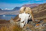 Northeast Greenland muskox skull