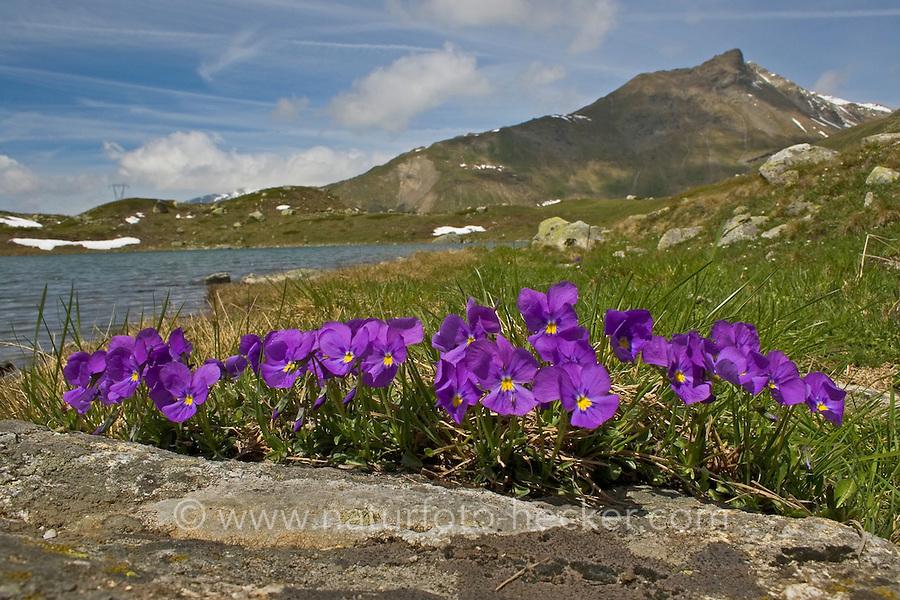 Langsporn-Veilchen, Gesporntes Stiefmütterchen, Langsporniges Veilchen, Sporn-Stiefmütterchen, Langgesporntes Veilchen, Viola calcarata, Long-spurred violet, Mountain violet, Spurred violet