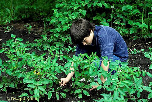 HS18-220x  Tomato -weeding young tomato plants
