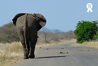 African elephant (Loxodonta africana) walking on road, rear view (Licence this image exclusively with Getty: http://www.gettyimages.com/detail/200503184-001 )