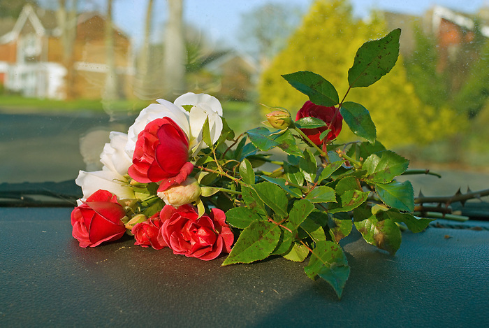 A bunch of hand cut roses sits on the dashboard of a car as it drives up a suburban road.