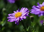 Blooming asters in Gardnerville, Nev., on Sunday, Sept. 16, 2018. <br /> Photo by Cathleen Allison/Nevada Momentum