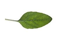 Gemeine Braunelle, Gewöhnliche Braunelle, Kleine Braunelle, Kleine Brunelle, Prunella vulgaris, Self Heal, common self-heal, heal-all, La Brunelle commune. Blatt, Blätter, leaf, leaves