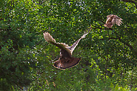 Spooked hen and poult turkey flying into the brush.