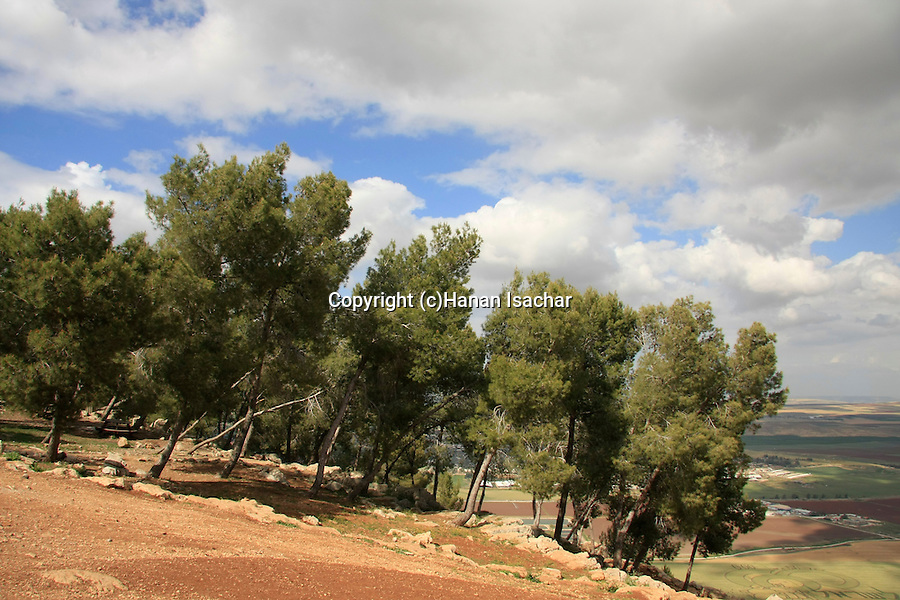 Israel, Pine trees on Mount Gilboa