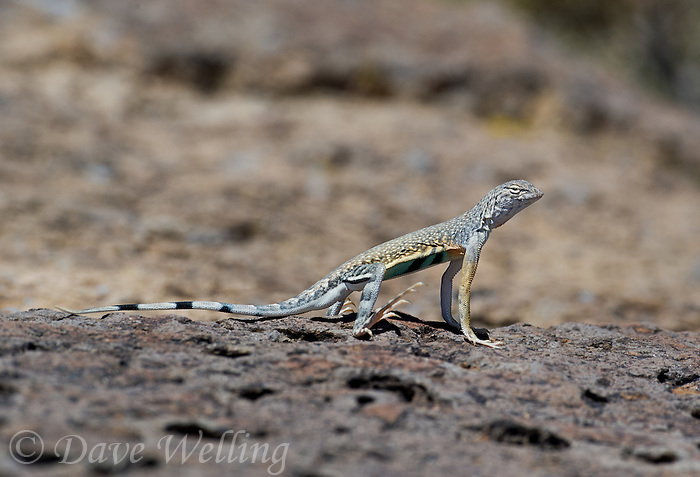 442880033 a wild male western zebra-tailed lizard callisaurus draconoides rhodostictus perches on a rock along fish slough road in mono county california