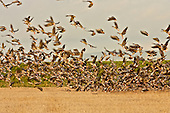 Pinkfooted Geese fleeing to the safety of the mudflats, in the early evening bathed in golden sunlight, after a brief forage in the nearby cereal fields. Frightened by gunshots in neighbouring fields.