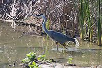 0829-0901  Great Blue Heron in Wading in Marsh, Ardea herodias © David Kuhn/Dwight Kuhn Photography