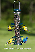 00585-03806 American Goldfinches (Carduelis tristis)  & Indigo Bunting (Passerina cyanea) on sunflower tube feeder, Marion Co., IL