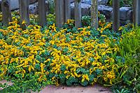 Sedum palmeri (Palmer's Sedum) , yellow flowering succulent in McAvoy Garden - California summer-dry garden; Ground Studio Landscape Architecture