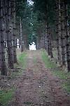Path through coniferous trees Sutton, Suffolk Sandlings