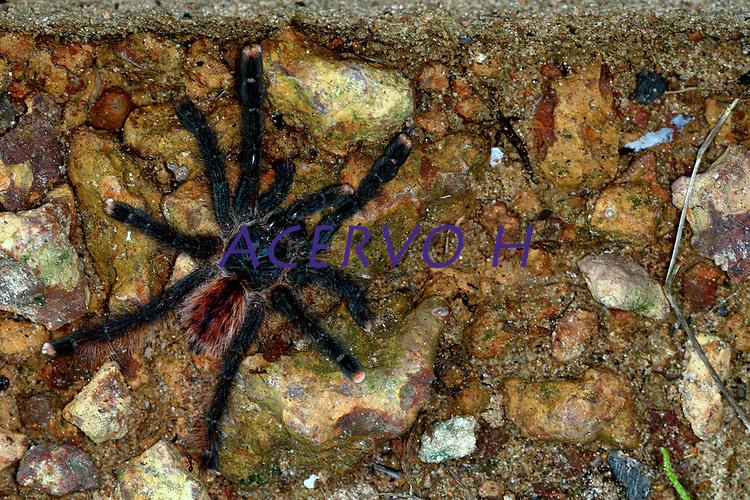 A aranha caranguejeira (Mygalomorphae) possui variado colorido e tamanho, desde milímetros até 20cm de envergadura de pernas. Algumas são muito pilosas. Os acidentes são destituídos de importância médica, sendo conhecida a irritação ocasionada na pele e mucosas devido aos pêlos urticantes, que algumas espécies liberam como forma de defesa. Os pêlos urticantes podem estar concentrados na região posterior do abdome, de 10.000 a 20.000 pêlos por mm.Belém, Pará, BrasilFoto Carlos Borges