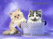 Xavier, ANIMALS, REALISTISCHE TIERE, ANIMALES REALISTICOS, cats, photos+++++,SPCHCATS847,#a#