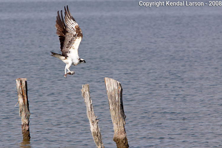 An osprey launches off its feeding post, a small redfish held in its right claw. The redfish's spot is clearly visible.