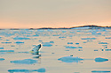 Polar bear enjoying a midnight swim in Smeerenburgfjorden, Spitsbergen, Svalbard.