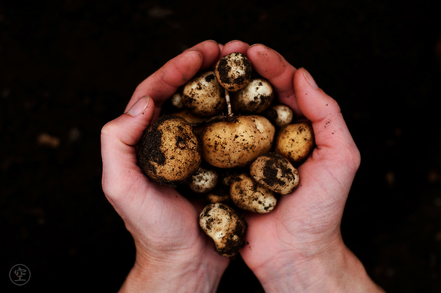 A woman's hands hold an early harvest of potatoes in mid-June in an organic allotment in Cambridgeshire.