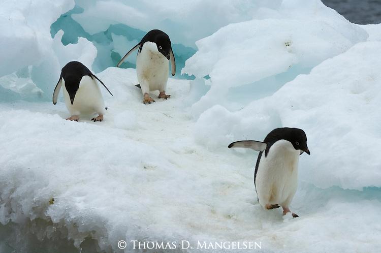 Adelie penguins walk on an iceberg on Brown Bluff on the Antarctic Peninsula.