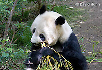 0502-1009  Female Giant Panda Eating Bamboo at San Diego Zoo, Ailuropoda melanoleuca  © David Kuhn/Dwight Kuhn Photography.