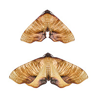 70.224 (1904)<br /> Scorched Wing - Plagodis dolabraria