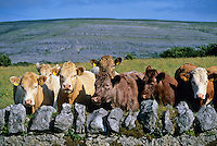 Ireland, County Clare, The Burren: Cows in field amongst typical Burren landscape | Irland, Conty Clare, The Burren, einzigartige Karstlandschaft: Kuehe in typischen Burren-Landschaft