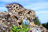 Snow Leopard Kitten, 1 month old (Panthera uncia) or (Uncia uncia), endangered species.