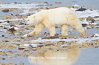 01874-13101 Polar Bear (Ursus maritimus) walking along the edge of Hudson Bay during low tide Churchill Wildlife Management Area, Churchill, MB