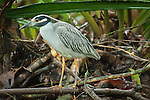 Yellow-crowned Night heron  in Tortuguero NP