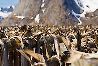 Cod stockfish hang on wooden drying racks in winter, Lofoten Islands, Norway