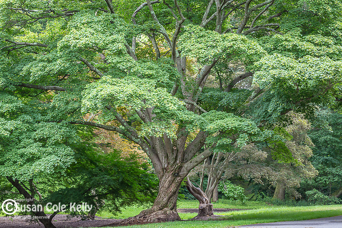 Painted Maple trees at the Arnold Arboretum in the Jamaica Plain neighborhood, Boston, Massachusetts, USA