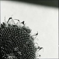 Section of dried sunflower<br />