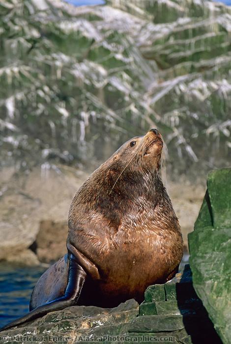 Bull Sea Lion, The Needle, Prince William Sound, Alaska