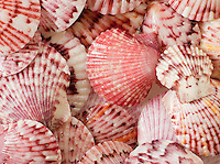 Calico Scallop Shells