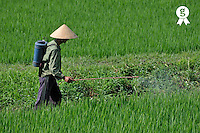 Farmer spraying pesticide on rice crop (Licence this image exclusively with Getty: http://www.gettyimages.com/detail/83154199 )