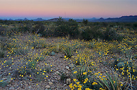 Wildflowers at dawn, Parralena Desert Marigold, Big Bend National Park,Texas, USA